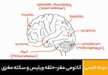 آناتومی مغز - حلقه ویلیس و سکته مغزی
