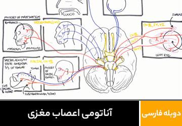آناتومی اعصاب مغزی