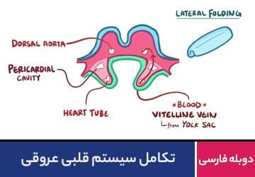 تکامل سیستم قلبی عروقی