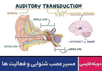 مسیر عصب شنوایی و فعالیت ها